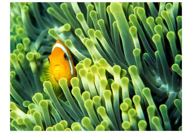 Fototapeta - Anemonefish