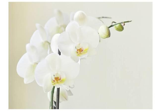 Fototapeta - Biała orchidea