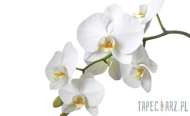 Fototapeta Biała orchidea 737