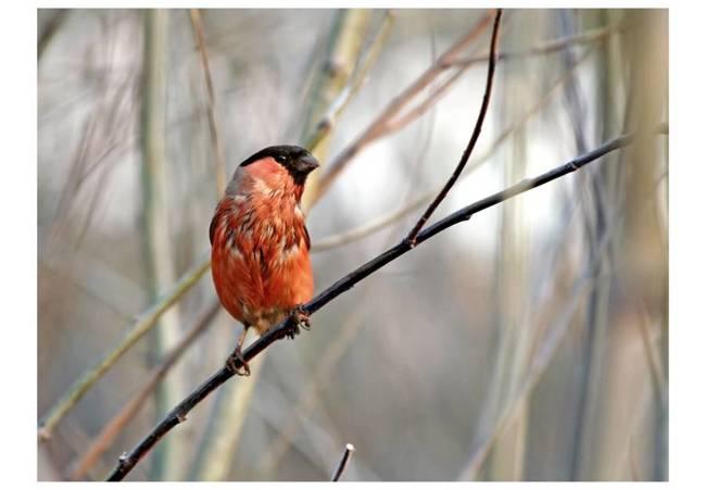 Fototapeta - Bullfinch in the forest