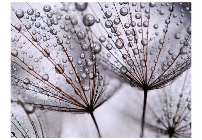 Fototapeta - Dmuchawiec i poranna rosa