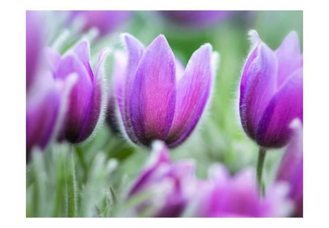 Fototapeta - Fioletowe wiosenne tulipany