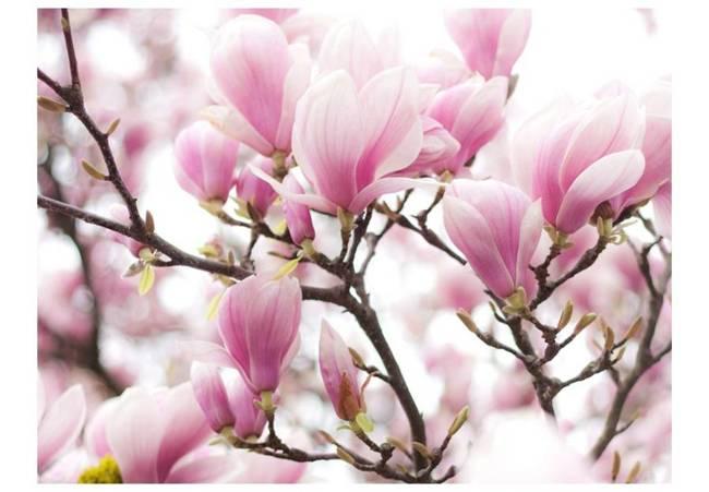 Fototapeta - Gałązka kwitnącej magnolii