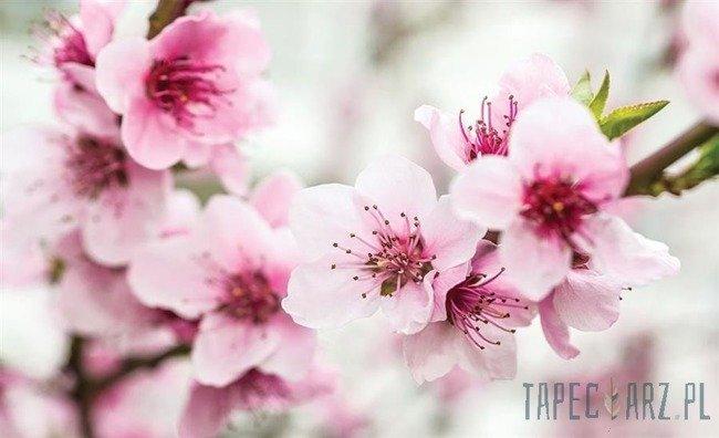 Fototapeta Kwiat jabłoni 1168