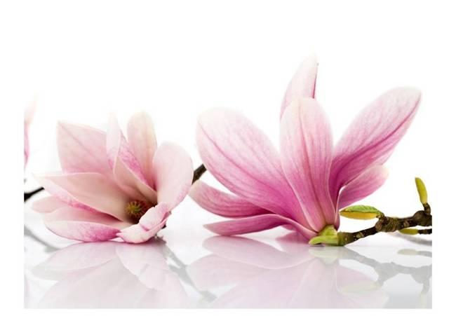 Fototapeta - Kwiat magnolii