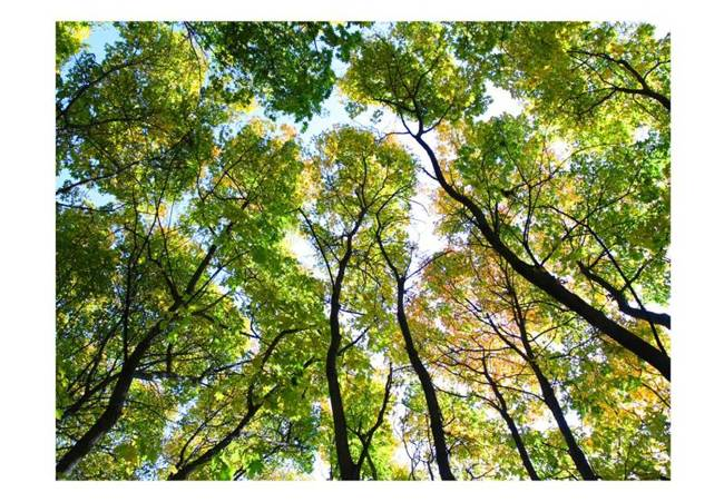 Fototapeta - Looking up at the trees