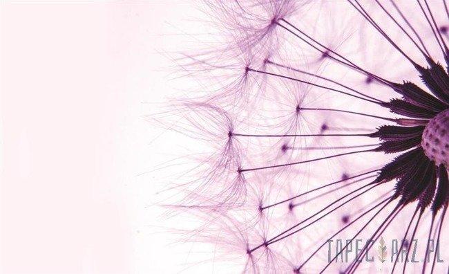 Fototapeta Nasiona różowego dmuchawca 1025