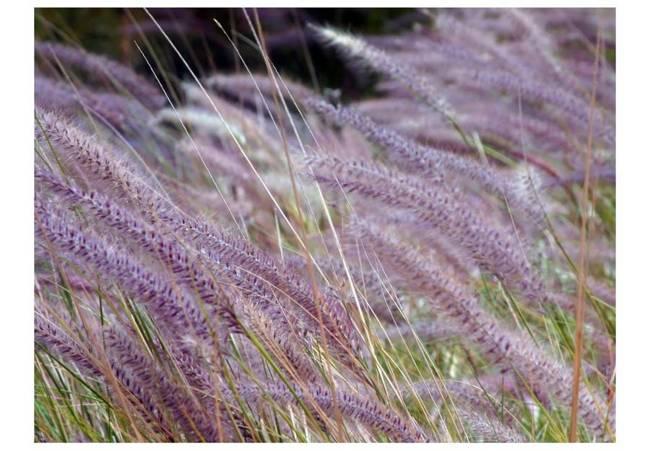 Fototapeta - Pole wysokich traw